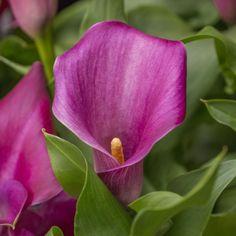 Zantedeschia 'Captain Lovely' - diese Calla ist keine Zimmer- sondern eine Gartenpflanze. Ihr lieblichen Blüten machen einfach glücklich. Pflanzzeit ist im Frühling. Erhältlich auf www.fluwel.de
