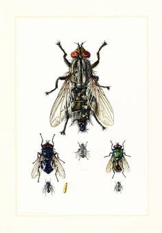 #Entomology Wall Art - Insect Biology Art Print - Naturalist gift ideas.  French school chart, published in Paris. 60 years old.  Frame it or use it for cards, scrapbooking,... #entomology #illustration #diptera