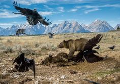 Grizzly defending a bison carcass. Looks like a heavy metal album cover. : natureismetal