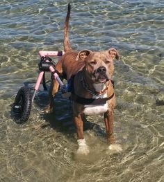 If you have a large breed dog with mobility issues, Walkin' Wheels Large Dog Wheelchair for handicapped pets is available to help your best friend. Large Dog Breeds, Large Dogs, Disabled Dog, Different Types Of Dogs, Dog Wheelchair, Wheelchairs, Fur Babies, Pitbulls, Dog Cat