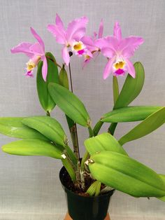 Cattleya (gaskelliana var. semi-concolor x gaskelliana) -  Flickr - Photo Sharing!