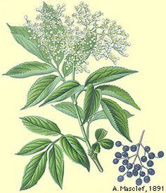 Sambucus, elderberry, gewone vlier