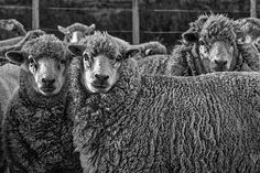 Photograph by Stuart Litoff.  #Sheep on a #ranch in #Patagonia #Argentina