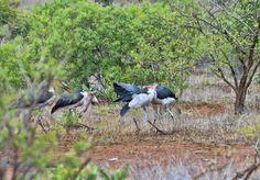 South Africa - Kruger Park (154) Marabou Stork