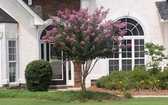 Muskogee Crape Myrtle - 3 Gallon - Single Trunk - Flowering Trees - Featuring soft lavender summer flowers and dark green foliage in fall. Grows in USDA Plant Hardiness Zones through