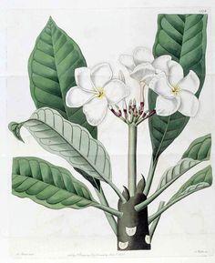 Plumeria rubra, Frangipani Big Flowers, Tropical Flowers, Colorful Flowers, Poison Garden, Surfboard Art, Shades Of White, Botanical Art, Vector Art, Clip Art