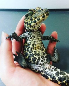 Baby alligator or baby crocodile Les Reptiles, Cute Reptiles, Reptiles And Amphibians, Mammals, Cute Baby Animals, Animals And Pets, Funny Animals, Animal Memes, Funny Cats