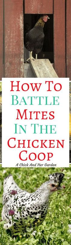 Does your coop have mites?! Don't fret! Take these steps to treat your chicken coop for mites!