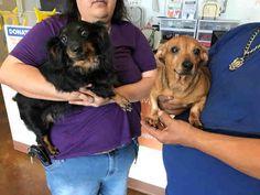 Dachshund dog for Adoption in Pearland, TX. ADN-542509 on PuppyFinder.com Gender: Female. Age: Adult