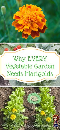 Why EVERY Vegetable Garden Needs Marigolds. Your gardening efforts will be helped by adding this amazing companion plant.