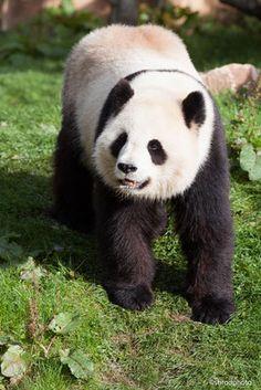 29 Meilleures Images Du Tableau Les Pandas Huan Huan Et Yuan Zi