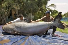 At 646LB this Mekong Giant Catfish is the largest freshwater fish in the world. With nearly nine feet long (2.7 meters) and as big as a grizzly bear, this huge catfish caught in northern Thailand may be the largest freshwater fish ever recorded