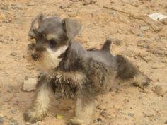 schnauzer   schnauzer filhotes a venda - Belo Horizonte - Cães - produtos