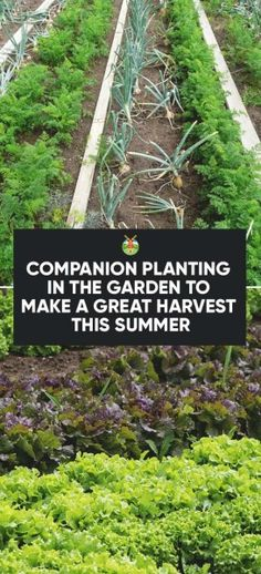 Companion Gardening 13 Companion Planting for Popular Vegetables to Make a Great Harvest - Some plants do well with others as bugs are attracted to some and not attracted to others. We list all the companion planting options you should consider. Growing Tomatoes In Containers, Growing Vegetables, Growing Plants, Companion Gardening, Onion Companion Planting, Hydroponic Farming, Hydroponics Setup, Hydroponic Plants, Types Of Herbs
