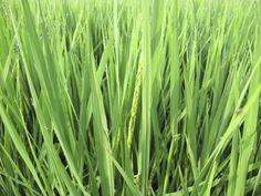 【生育記録】平成24年8月6日早朝、虫送祭と田の草取りを行いました。稲は5,60cmくらいまで生長し、花も咲き始めました。