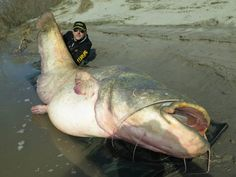 World record or not, the 280-pound wels catfish caught by Dino Ferrari in Italy's Po Delta is one of the biggest ever recorded in recent history.