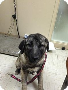 PAGE NO LONGER AVAILABLE - Beckley, WV - Humane Society Of Raleigh County, Hound (Unknown Type) Mix. Meet CHARLOTTE, a dog for adoption. http://www.adoptapet.com/pet/12772899-beckley-west-virginia-hound-unknown-type-mix