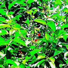 キャプション→アルメニアにて。木。さくらんぼ。 2016.5 Tree. Cherry. Armenia.  #cherryblossom #cherryblossomtree #cherry #tree #green #leaf #nature #landscape #landscapes #landscapephotograph #landscapephotography #photo #photograph #photography #picture #pictures #木 #緑 #葉 #木漏れ日 #桜 #さくら  #さくらんぼ #サクランボ #チェリー #植物 #自然 #景色 #風景 #風景写真 ユーザー→mizue_takagi 場所→