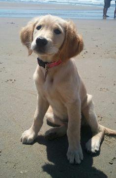 Golden Retriever Puppy Chloe - 12 weeks