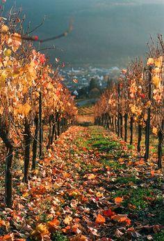 vineyard, Gemeinde Polich, Rhineland-Palatinate, Germany