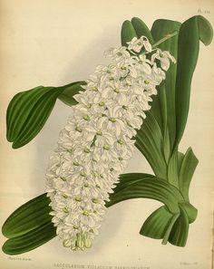 Plate 236, Orchid album :. London :B. S. Williams,1882-97