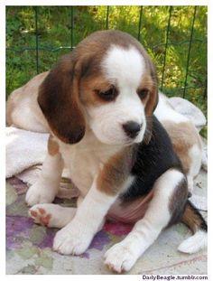 Sweet #beagle puppy