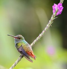 Rufous-tailed Hummingbird, Amazilia tzacatl, from Las Cruces Biological Station, Costa Rica by Jay Taft via Flickr (cc-by-nc): http://www.flickr.com/photos/51542425@N03/4739531399/