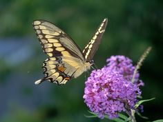 Massachusetts butterflies move north as climate warms (w/ Video)