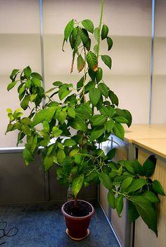 How to grow avocado tree from the stone