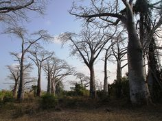 The Baobab trees are the giants of Africa along with the elephants. Both of them are amazingly huge and impressive. Because the wood inside is extremely wet (that's how the tree is keeping water for the dry times), it is no good for use as wood, so these trees have a good chance not get chopped for firewood or else