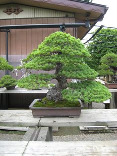 Basically if you do not know someone in the bonsai buisness in japan it is near… Pine Bonsai, Indoor Bonsai Tree, Bonsai Trees, Ikebana, Bonsai Garden, Bonsai Art, Plantas Bonsai, Pot Plante, Compost