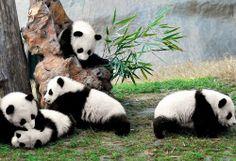 Playful Pandas.,
