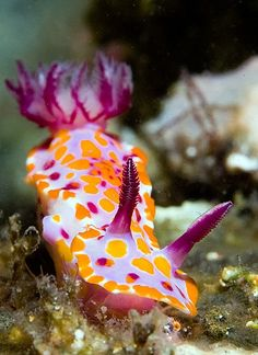 The Nicest Pictures: nudibranch