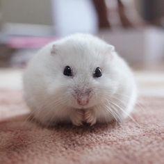 モジモジ _ モジモジしてそうに見えるユキちゃんくしくし前の一コマです✨ _ #hamster #hamstergram #ハムスター #ふわもこ部 #チームげっ歯ラブ #ジャンガリアンハムスター #ig_japan #instapet #可愛い #小動物 #animal #癒し #ハムスタグラム #もふもふ #アニマル写真部 #hamsterlove #hammie #cute #pretty #写真好きな人と繋がりたい #ハムスター好きな人と繋がりたい