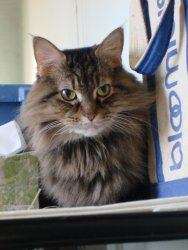 Eleanor is an adoptable Maine Coon Cat in Monroe Twp, NJ. THIS IS A COURTESY POSTING Eleanor is a beautiful, 10-year-old, Maine Coon. She was born in August 2002. She lived in a home with an elderly c...