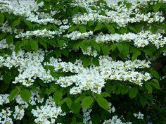 Viburnum plicatum tomentosum 'Mariesi'