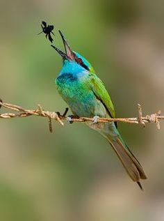 stir-fried ... (Little Green Bee-eater.)  © yaki zander