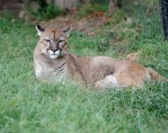 Cindy --- Purchase this print! #turpentinecreek #cougar