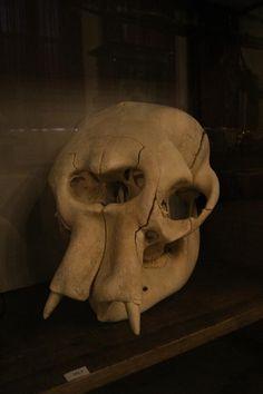 Baby Asian Elephant Skull