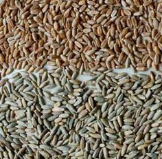 Winter wheat and Cereal Rye grains to be used as cover crops (green manures) in the garden