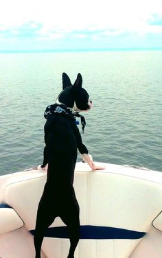Marley aka 'Dicaprio' looking for a girl friend. He wants to play a scene as Titanic !! Who wants to be his lover !! Have a good boat ride my friends :-)) - http://www.bterrier.com/marley-aka-dicaprio-is-looking-for-a-girl-friend-for-this-titanic-scene-photo/