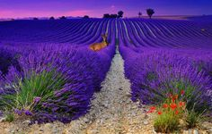 Lavender in France  alensole - Haute Provence - France .