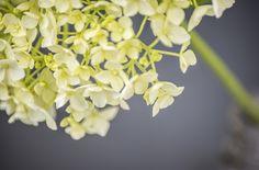 Hydrangea by Jo Semmens #floral #fineart #photography