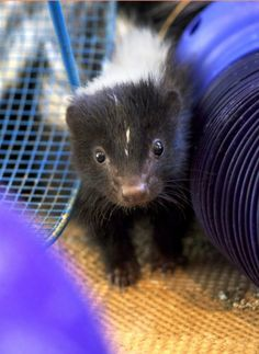 Wishing You a Very Merry National Skunk Day — Cute Overload Beautiful Creatures, Animals Beautiful, Baby Skunks, North American Animals, Baby Dogs, Exotic Pets, Cute Baby Animals, My Animal, Spirit Animal