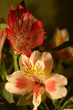 Here are some interesting facts about the alstroemeria flower! http://on.fb.me/1BT3HNz www.bloominggalsbouquets.com