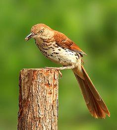Brown Thrasher ~ Georgia's State Bird
