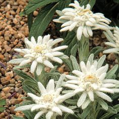Ground Cover Seeds, Bee Friendly Plants, Alpine Flowers, Edelweiss, Plant Lighting, Herb Seeds, Garden Planning, Perennials, Wild Flowers