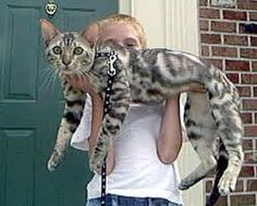 Want this kitty - bengal