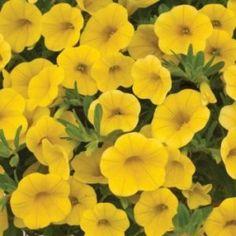 EIther Yellow Petunias or ....