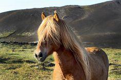 Icelandic horse - http://www.1pic4u.com/blog/2014/10/02/icelandic-horse-4/